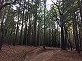 Santa Cruz Redwoods 2015.jpg