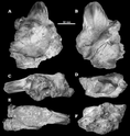 Sauroniops holotype.png