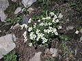 Saxifraga androsacea Ferdenpass.jpg