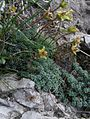 Saxifraga burseriana PID1293-3.jpg