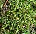 Scapania nemorea Lepidozia reptans 260108.jpg