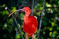 Scarlet Ibis (Eudocimus ruber) (10531856366).jpg