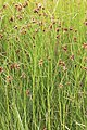 Schiermonnikoog - Heen + Oeverbies (Bolboschoenus maritimus + Bolboschoenus laticarpus).jpg