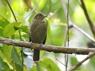Brown-winged schiffornis species of bird