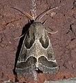 Schinia rivulosa P1300366b.jpg