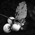 Schneebeeren (Symphoricarpos).jpg