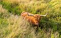 Schotse Hooglander zoekt verkoeling in het water. Locatie, natuurgebied Delleboersterheide – Catspoele 05.jpg