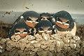 Schwalbenjunge in Nest aus Lehm Lukas Häuser.jpg