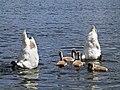 Schwanenpaar (1) beim Gründeln mit Jungen im Sonnensee, Binsfeld.JPG
