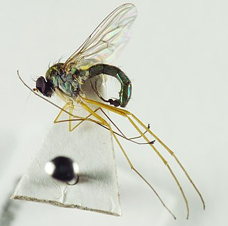 Entomological equipment for mounting and storage - Sciapus nervosus glued to a card point