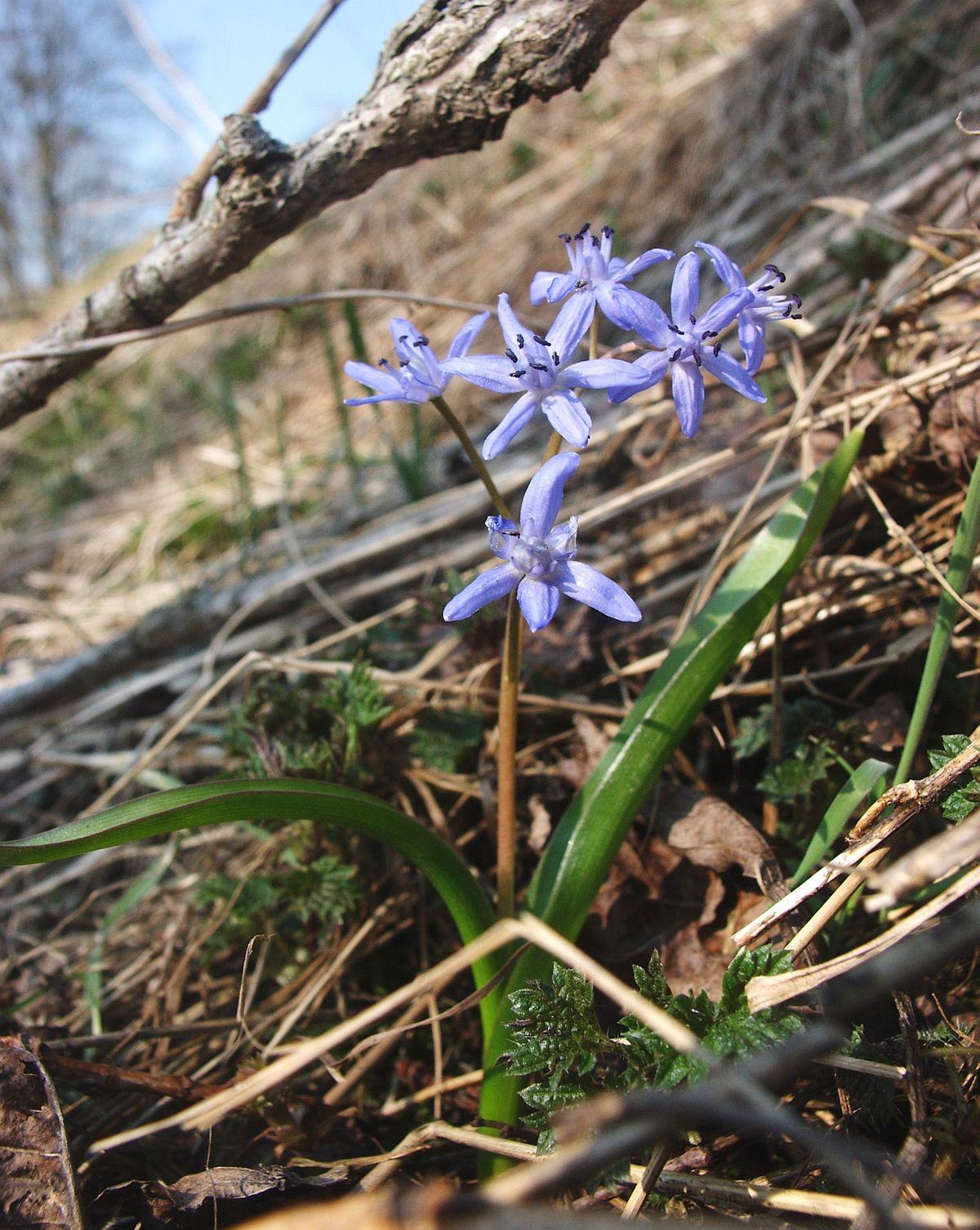 Fleur De Sous Bois Bleue scille à deux feuilles — wikipédia
