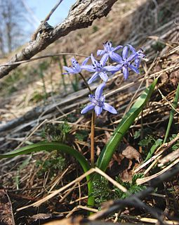 <i>Scilla bifolia</i> species of plant