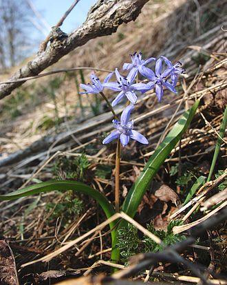 Scilloideae - Scilla bifolia