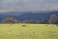Scotland Sheep (15732355448).jpg