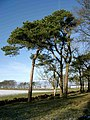 Scots Pines in winter - geograph.org.uk - 43360.jpg