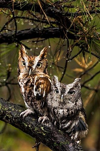 Screech owl - Screech Owl couple
