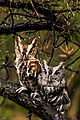 Screech Owl Couple.jpg