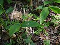 Scutellaria violacea B.Heyne ex Benth. (14557081276).jpg