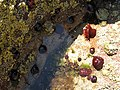 Sea anemones on the rocks - geograph.org.uk - 1912683.jpg