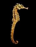 Seahorse Skeleton Macro 8 - edit.jpg