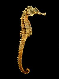 Dried seahorses like these are extensively used in traditional medicine in China and elsewhere
