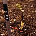 Sealer on grafted elm CV.jpg