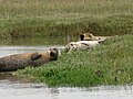 Seals resting at high water, River Stour - geograph.org.uk - 1585301.jpg