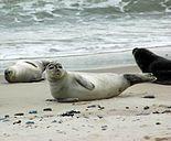 Seehunde auf Duene.jpg