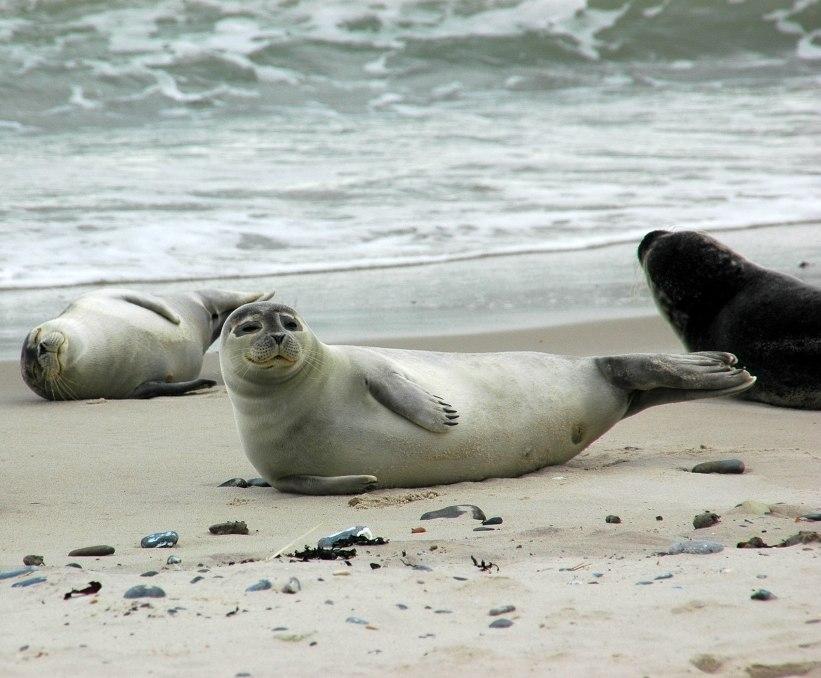 Seehunde auf Duene