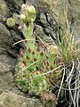 SempervivumPittoniiCrassulaceae Habitus KraubathGulsen.jpg
