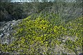 Senecio vernalis - Iris-Hill-IZE-030.jpg