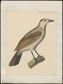 Sericulus melinus - 1825-1838 - Print - Iconographia Zoologica - Special Collections University of Amsterdam - UBA01 IZ16400215.tif
