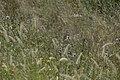 Sesanum triphyllum dans la Savane.jpg