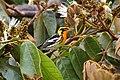 Setophaga fusca Monteverde 03.jpg