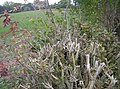 Severely pruned hedgerow - geograph.org.uk - 597490.jpg