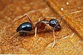 Shattuck 53201, Camponotus, Danum Valley, Sabah-web (5042347277) (2).jpg