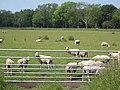 Sheep, Hockwold Fens - geograph.org.uk - 463961.jpg