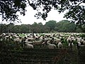 Sheep and more sheep - geograph.org.uk - 240296.jpg