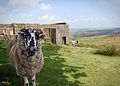 Sheep at Top Withens.jpg