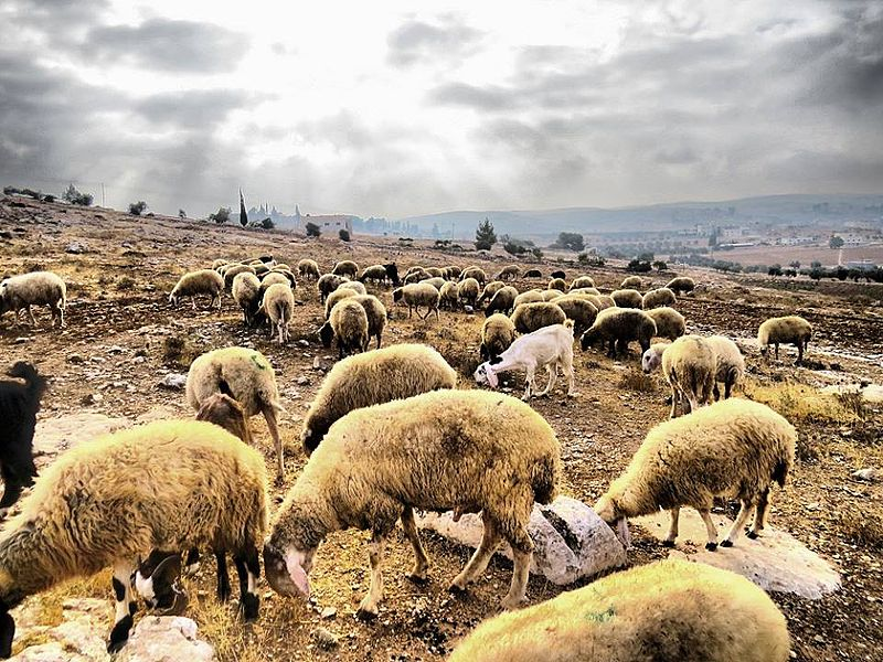 Sheep in the south of Hebron.jpg