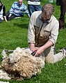 Sheep shearing J1.jpg