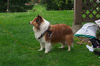 Sheltie full profile.