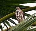 Shikra (Accipter badius)- Immature in Narendrapur near Kolkata I IMG 8392.jpg