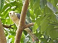 Shikra 4 (Accipiter badius) പ്രാപ്പിടിയൻ .jpg