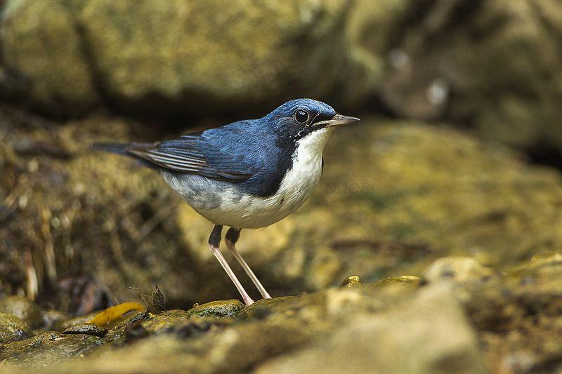 File:Siberian Blue Robin - S4E7383 (19175819080).jpg