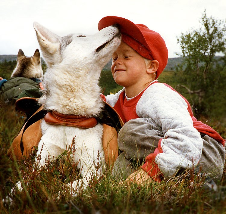 Siberian Husky pho