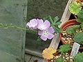 Sidalcea malviflora (14302120639).jpg