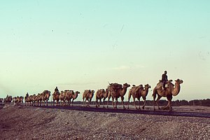 Kashgar - Camels traversing the old silk road in 1992