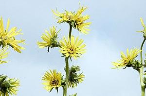 Silphium laciniatum - Image: Silphium laciniatum 2
