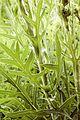 Silphium laciniatum COMPASS PLANT (5146421162).jpg